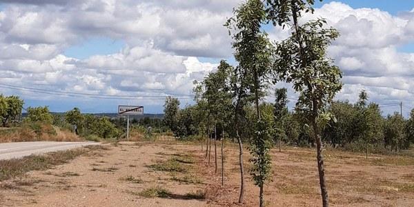 Els arbres plantats al costat de les piscines han agafat tots. Foto 02
